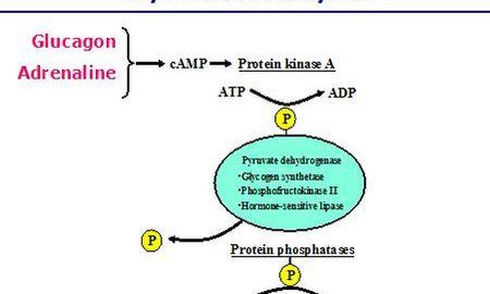 How Insulin Works Diagram