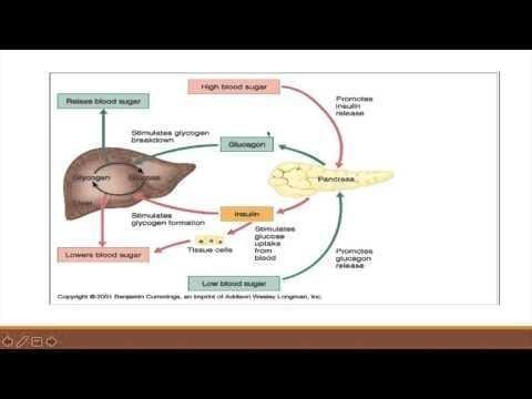 Insulin And Glucagon:hormonal Regulation Of Glucose Metabolism
