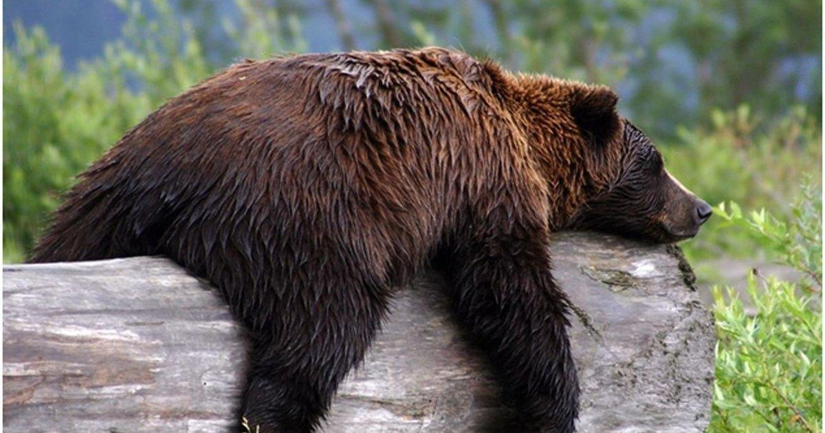 The Cure To Diabetes May Be Hiding In Grizzly Bears