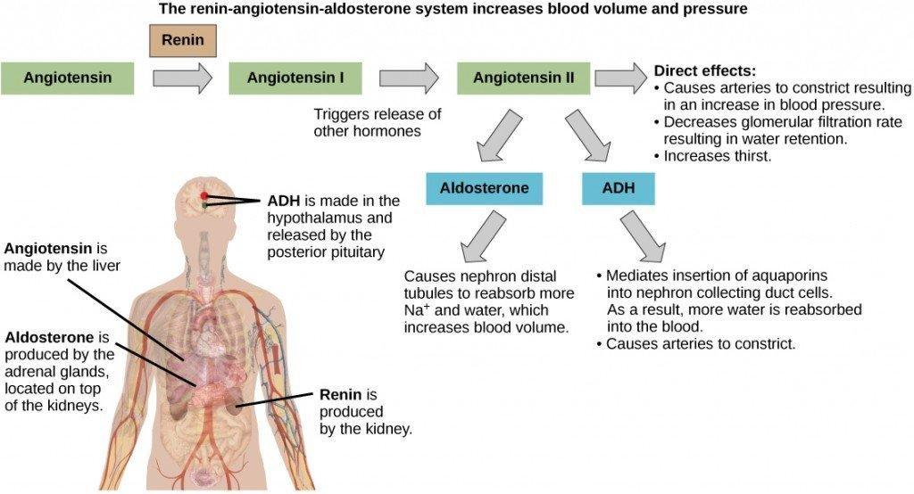 How Is Blood Sugar Regulated By Negative Feedback