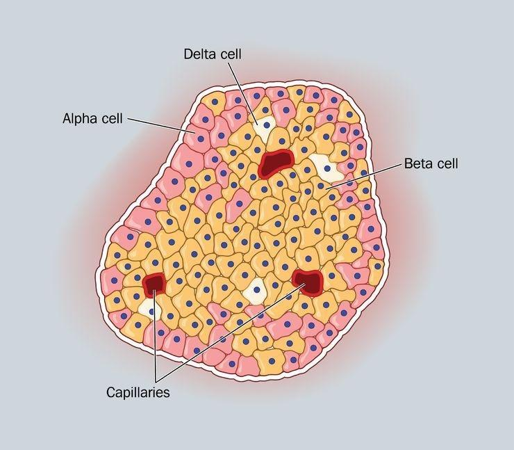 What Causes Beta Cell Dysfunction In Type 2 Diabetes
