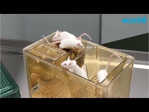 Diabetes Mice