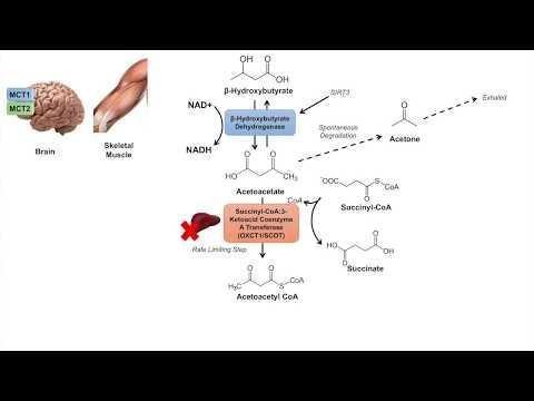 Disorders Of Ketogenesis And Ketolysis