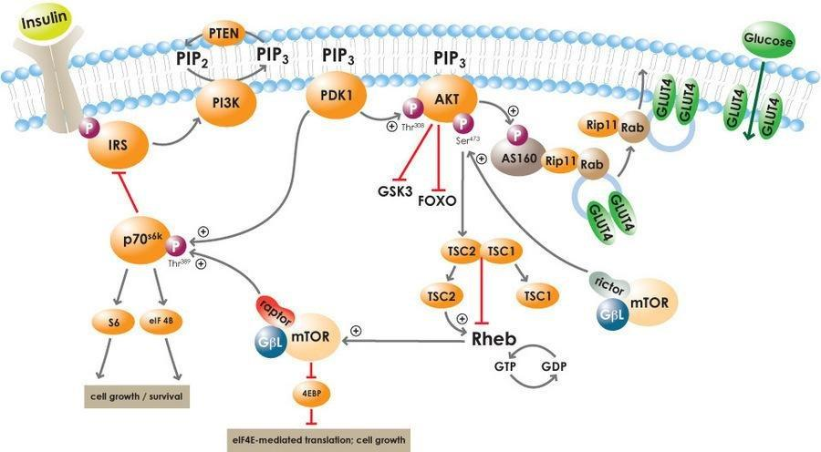 Insulin Signaling Pathway And Diabetes