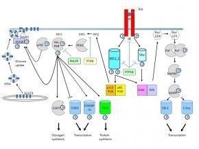 Insulin Signaling Pathways