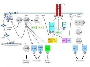 How Insulin Binds To Cells And The Mechanism Involved In Triggering The Cells To Take In Glucose