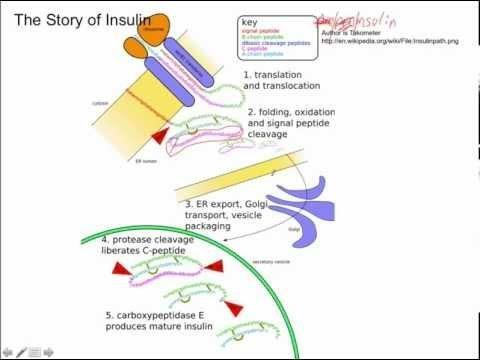 Is Insulin A Polypeptide?