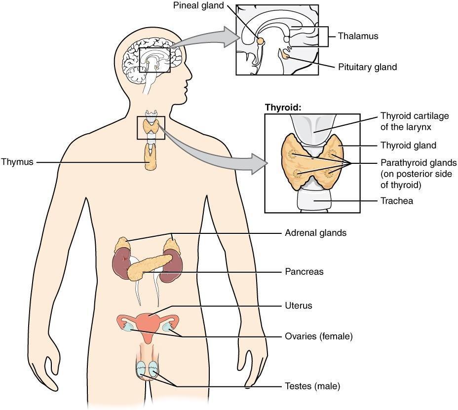 Animal Hormones   Biology 1520