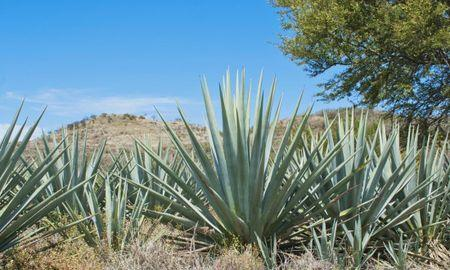 Is agave syrup the best sweetener for diabetes?