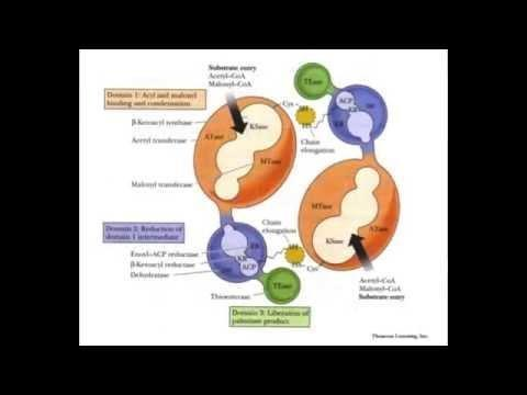 How Fat Is Converted To Glucose?