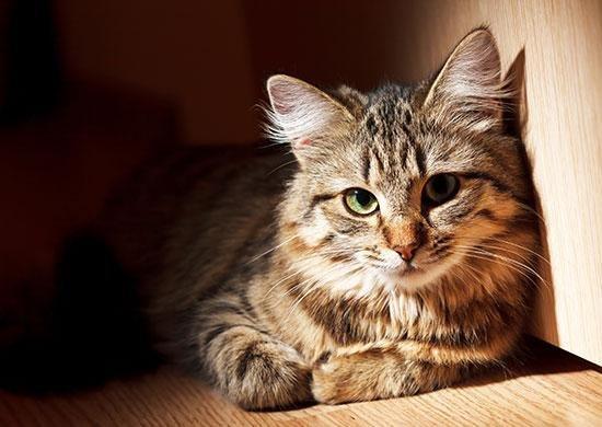 Feline Diabetes: The Influence of Diet