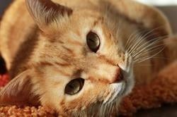 Feline Diabetes – Causes, Symptoms And Treatment