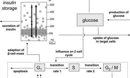 insulin and glucose model