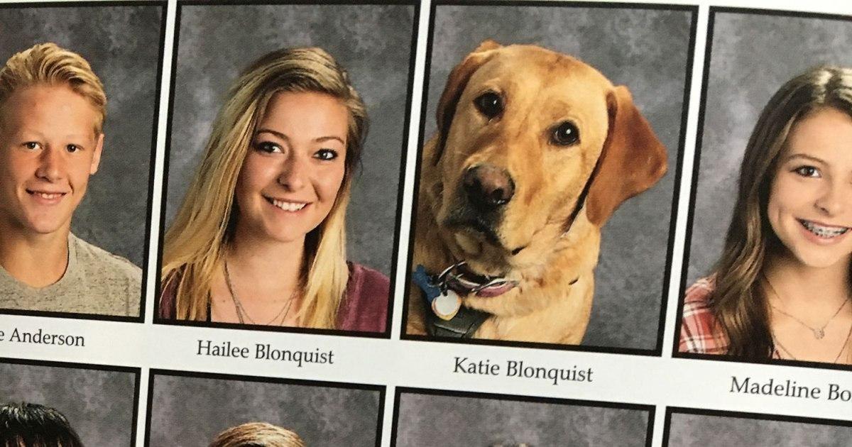 Great Dane Diabetic Alert Dog