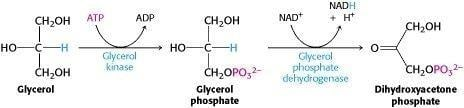 Glucose Can Be Synthesized From Noncarbohydrate Precursors - Biochemistry - Ncbi Bookshelf