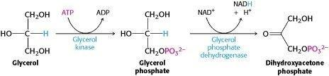 Can Glycerol Be Converted To Glucose