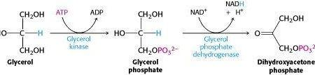 How Can Amino Acids Be Converted To Glucose?