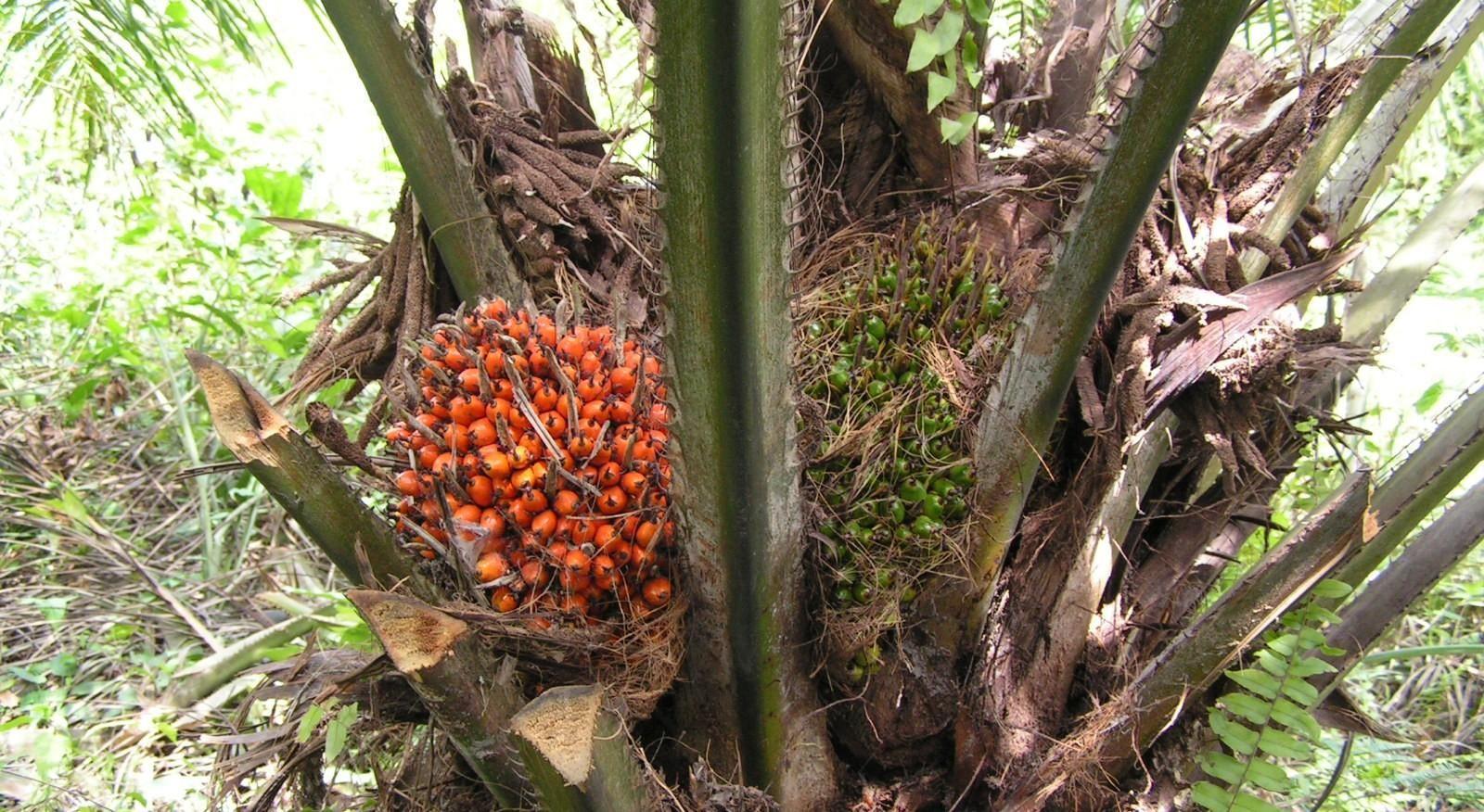 Palm Oil Diabetes