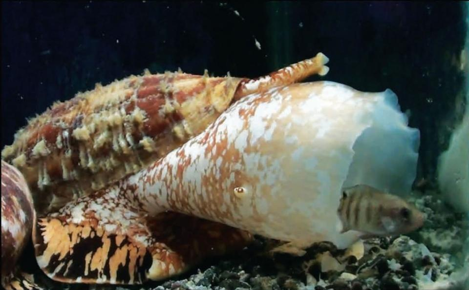 Cone Snail Venom Could Inspire Fast-acting Insulin For Diabetes