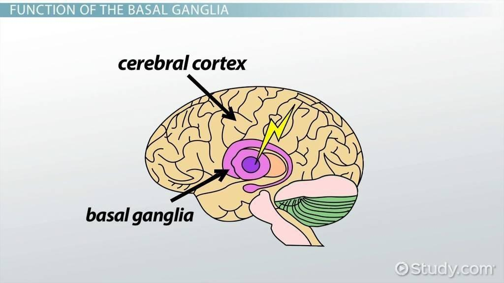 Basal Ganglia: Definition & Function