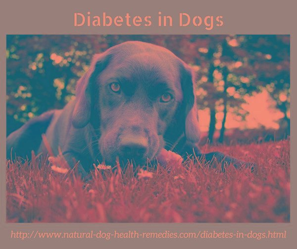 Diabetes In Dogs (diabetes Mellitus)