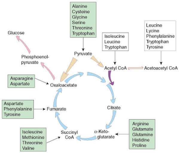 Gluconeogenesis Definition