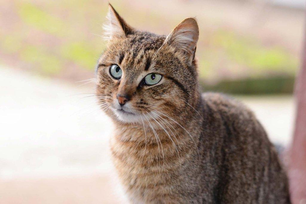 Diabetes With Ketone Bodies In Cats