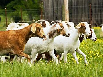 What Is Ketosis In Goats