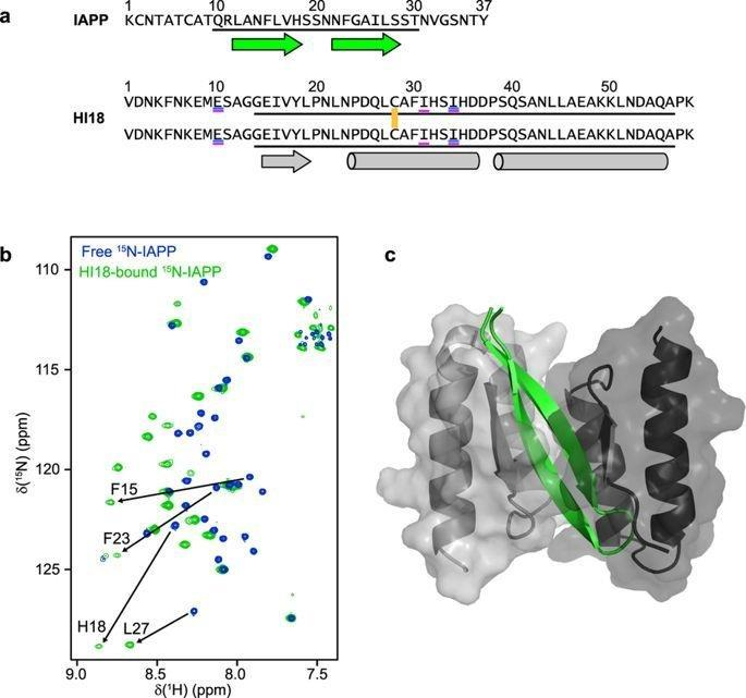 -hairpin Of Islet Amyloid Polypeptide Bound To An Aggregation Inhibitor