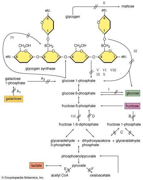 Glycogenolysis