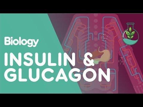 What Does Insulin Actually Do?