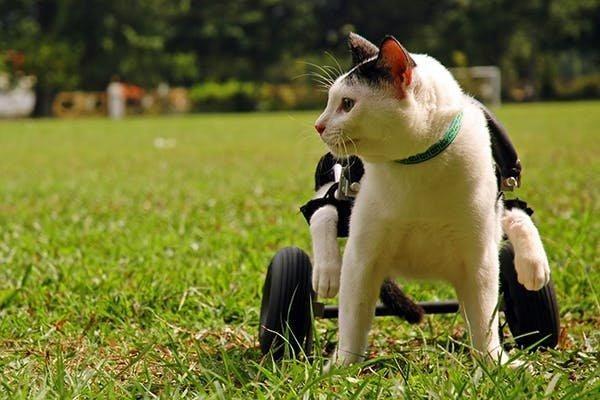 Cat Diabetes Symptoms Legs