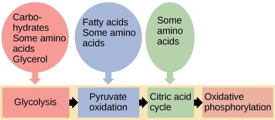 Can Fatty Acids Can Be Converted To Glucose?