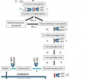 What Does Insulin Do To Glycolysis?