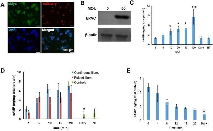 Optogenetic Regulation Of Insulin Secretion In Pancreatic Β-cells
