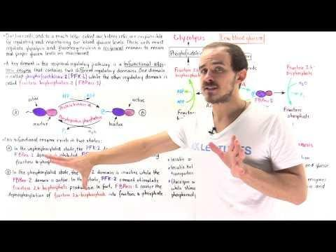 How Do Endocrine Hormones Control Blood Sugar Levels