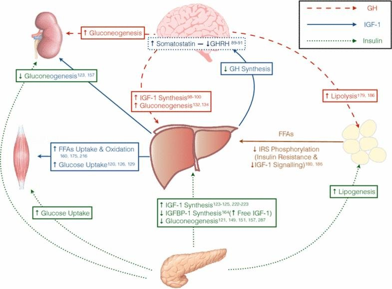 Insulin-like Growth Factor-1 Deficiency And Metabolic Syndrome