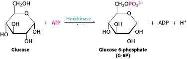 Glycolysis Is An Energy-conversion Pathway In Many Organisms