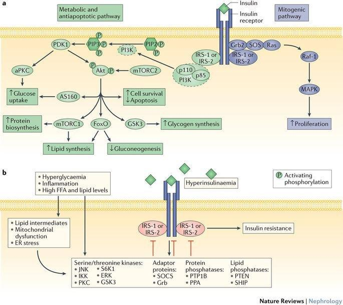 The Impact Of Insulin Resistance On The Kidney And Vasculature