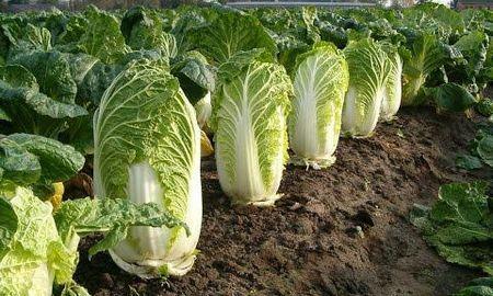 Iceberg Lettuce And Diabetes