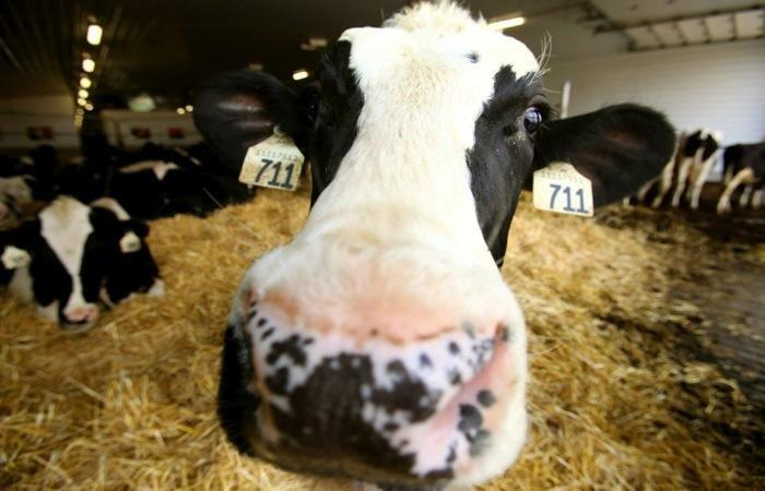 Test For, Treat Ketosis Early In Dairy Cattle