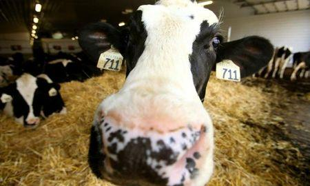 How To Prevent Ketosis In Dairy Cows