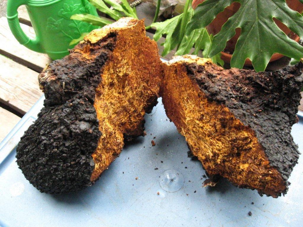 Chaga Mushroom: The Siberian Fungus Full Of Benefits