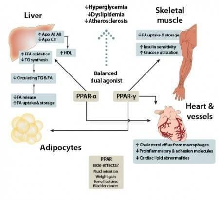 Ppar Alpha: The Protein That Revs Up Metabolism And Ketosis