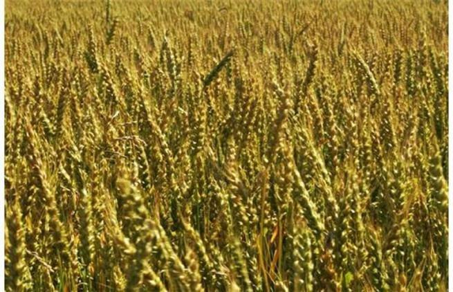 Corn For Diabetics, Great Alternative To Rice –research Prof