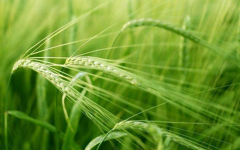 Barley Grass Benefits To Boost The Body