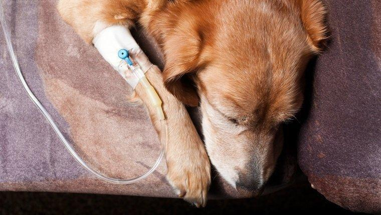 Diabetic Ketoacidosis In Dogs: Symptoms, Causes, & Treatments
