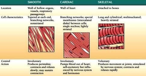 Muscular System - Malnutrition And Our Health