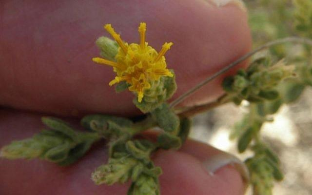 Israeli researchers discover shrub that can treat diabetes