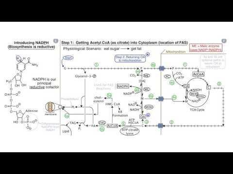 Biosynthesis Of Fat